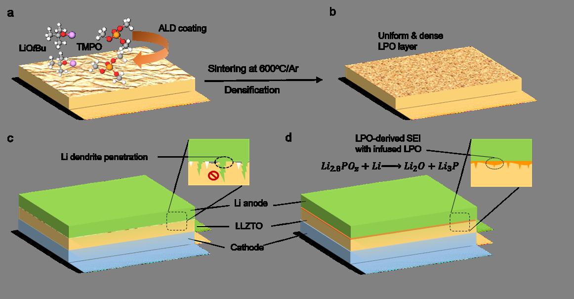 AM: Li3PO4修饰锂金属和石榴石型固态电解质的界面以及电解质晶界结构